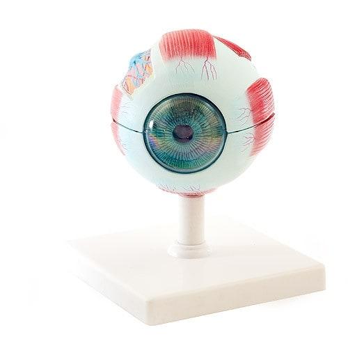 Augenmodell, koloriert, mit Stativ auf Sockel montiert
