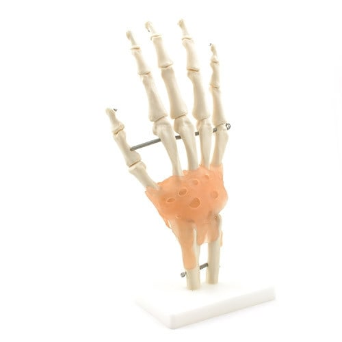 Hand Skeleton with Ligaments