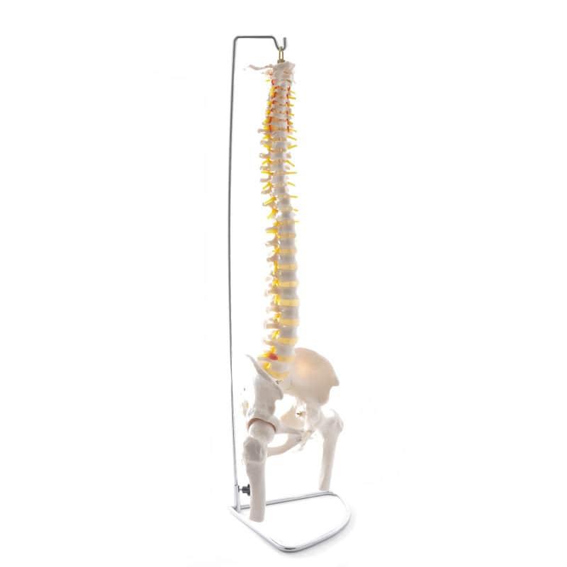 Modèle de colonne vertébrale avec bassin et têtes fémorales