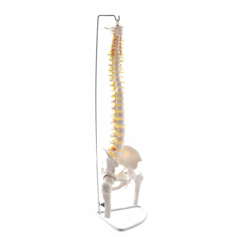 Columna vertebral con pelvis y fémur