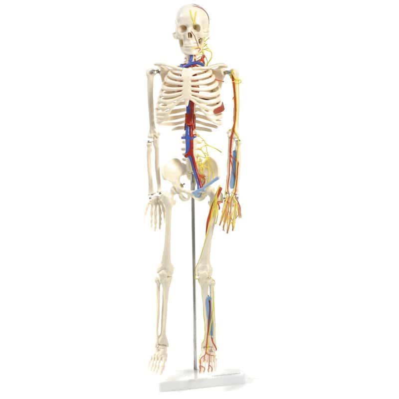 Anatomical skeleton model with nerves and blood vessels including sturdy base