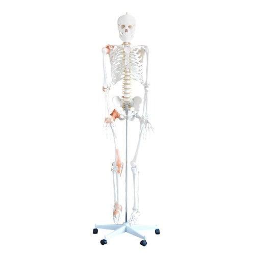 Flexibles Skelettmodell - Lebensgroße Darstellung (180cm)