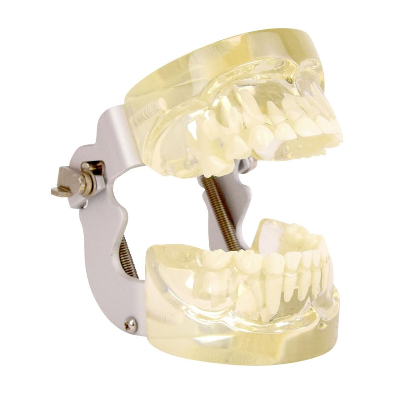 Human Jaw Model, transparent