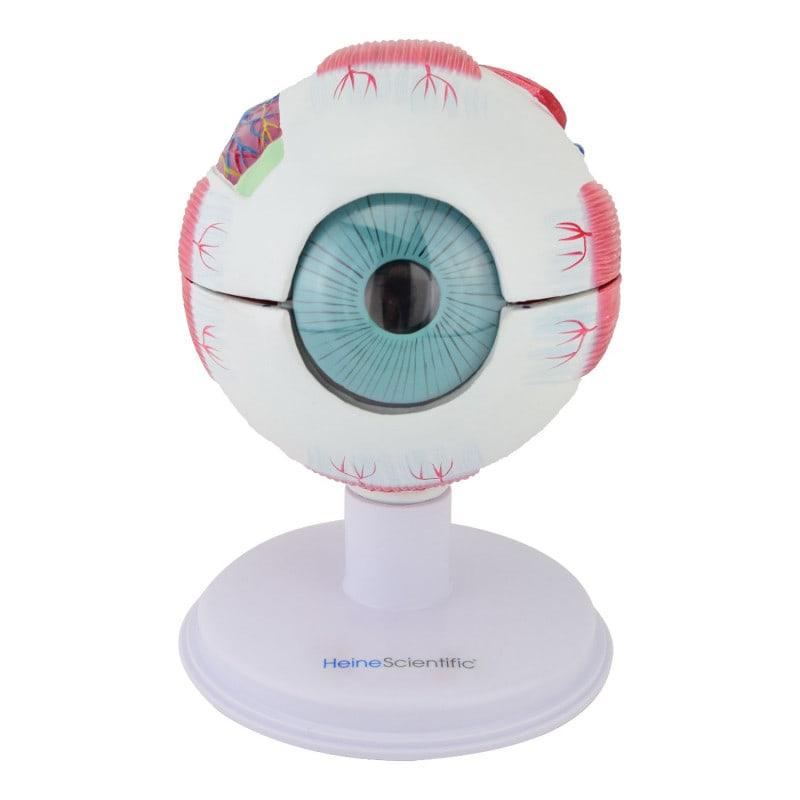 3-fach vergrößertes Augenmodell von HeineScientific