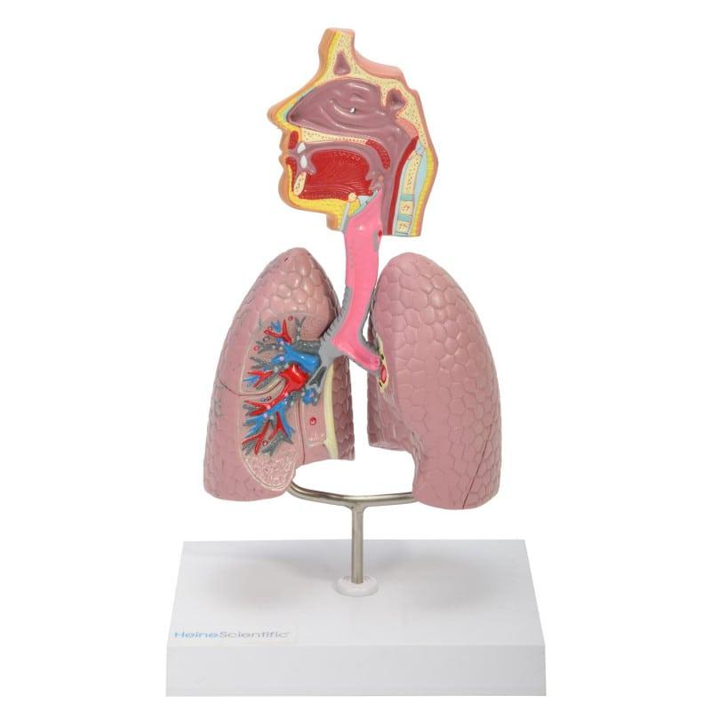 Modelo anatómico de las vías respiratorias de HeineScientific