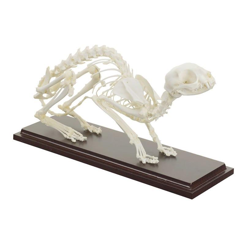 Squelette de chat en os véritables