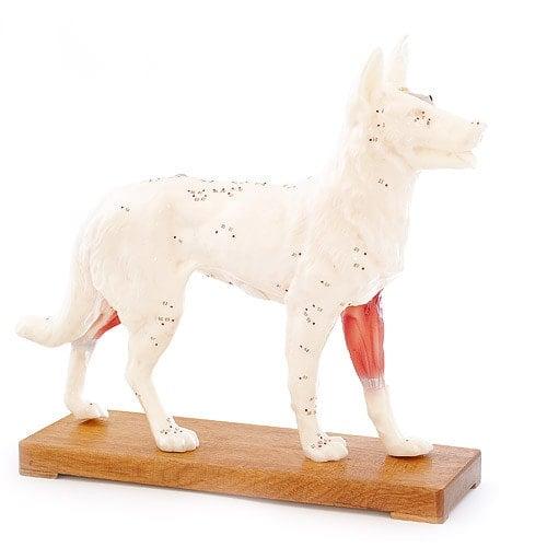 Model do akupunktury psa