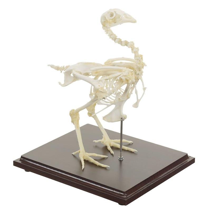 Hen skeleton specimen with real bones