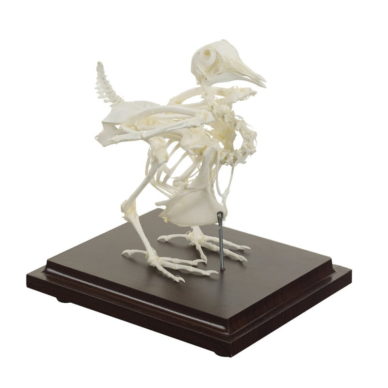 Pigeon (dove) skeleton specimen mounted on a wooden base