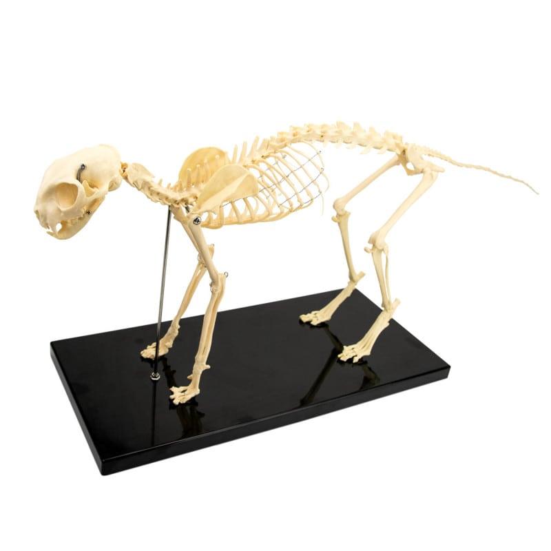 Skelettmodell «Katze», teilweise zerlegbar