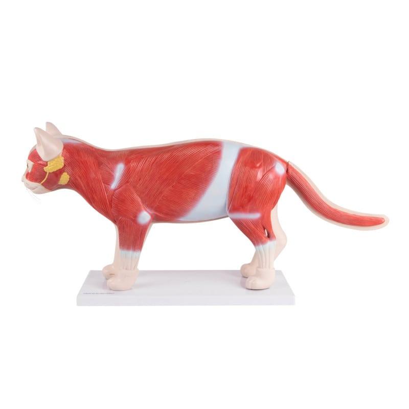 Katzenmodell mit abnehmbarer Hälfte und Sicht auf die Muskeln