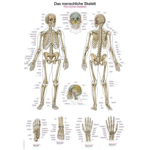 "Wall Chart ""Human Skeleton"""