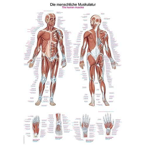 "Wall Chart ""Human Muscular System"""