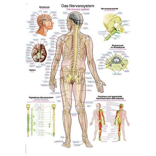 "Wall Chart ""The Nervous System"""