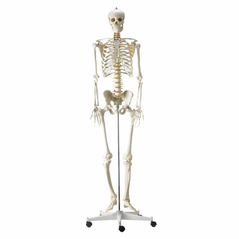 Life-Size Human Skeleton Model