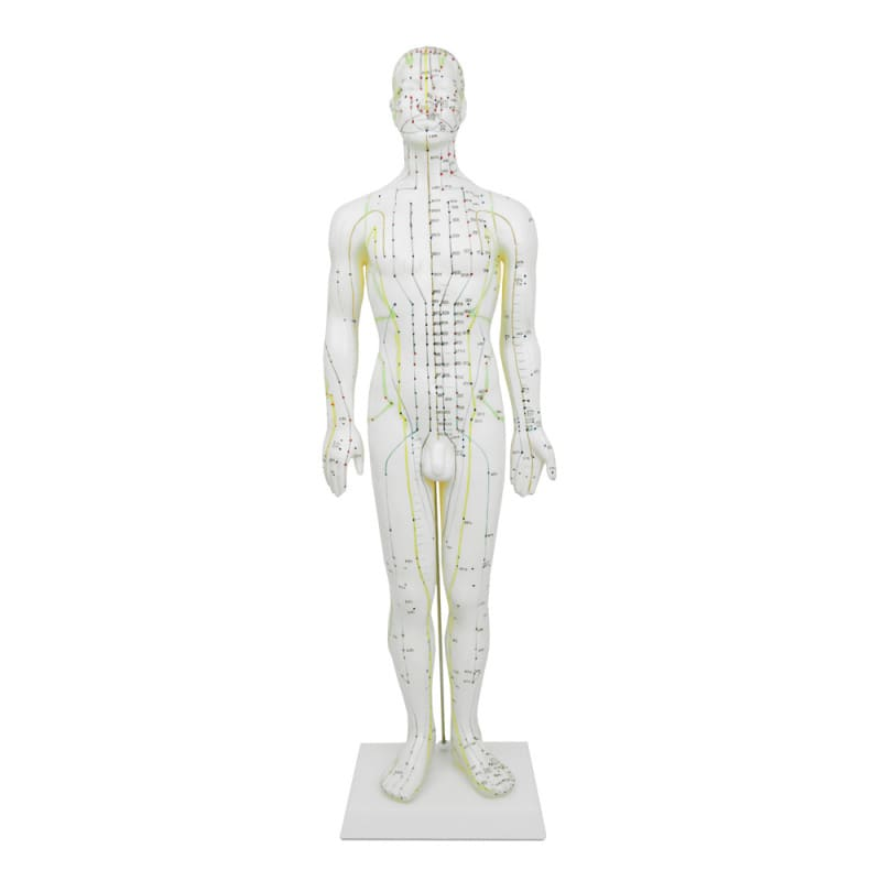 Male acupuncture model, 60 cm tall