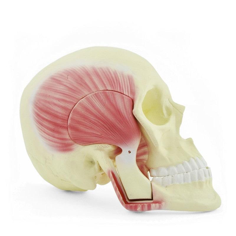 Modèle de crâne avec muscles masticateurs