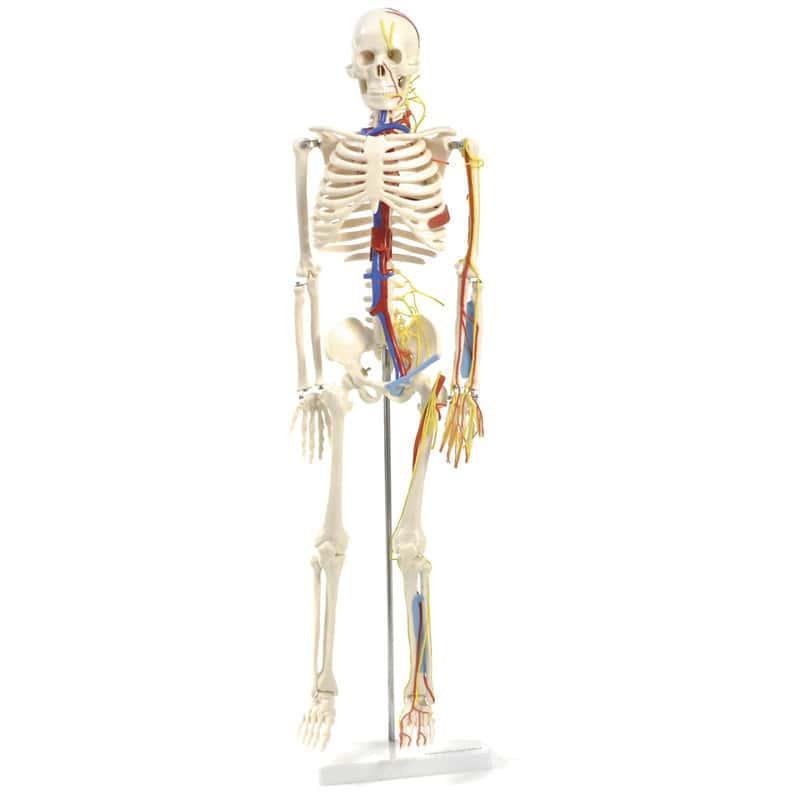 Anatomisches Skelett mit Nerven und Gefäßen