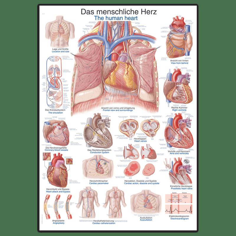 Planche anatomique « le coeur humain »