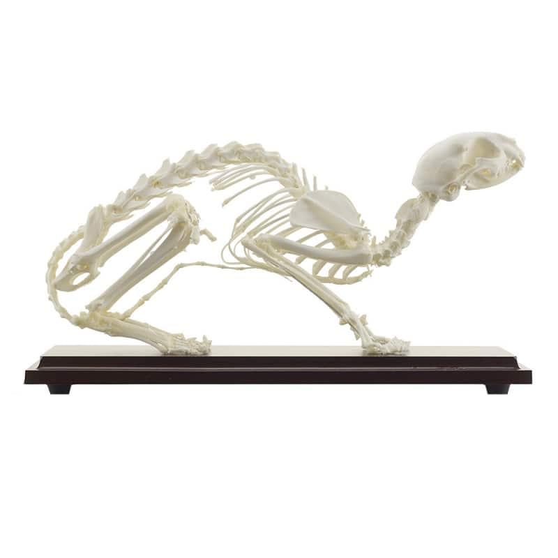 Echtes Katzenskelett | Skelett der Katze | Praxisdienst