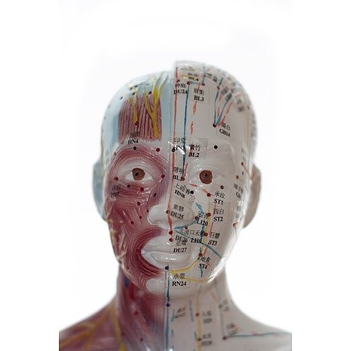 Na modelu przedstawiono struktury akupunkturowe i anatomiczne