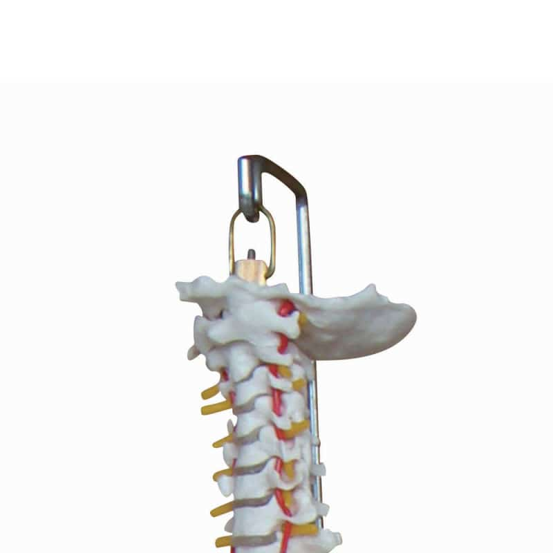 Model of a Spinal Column with Pelvis