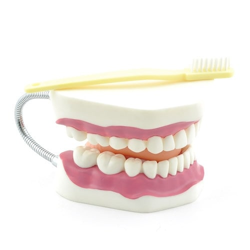 Dental Hygiene Model with Toothbrush