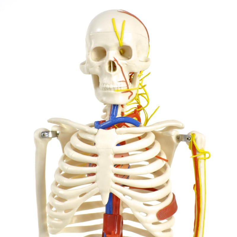 Detailed and true-to-scale replica of a human skeleton