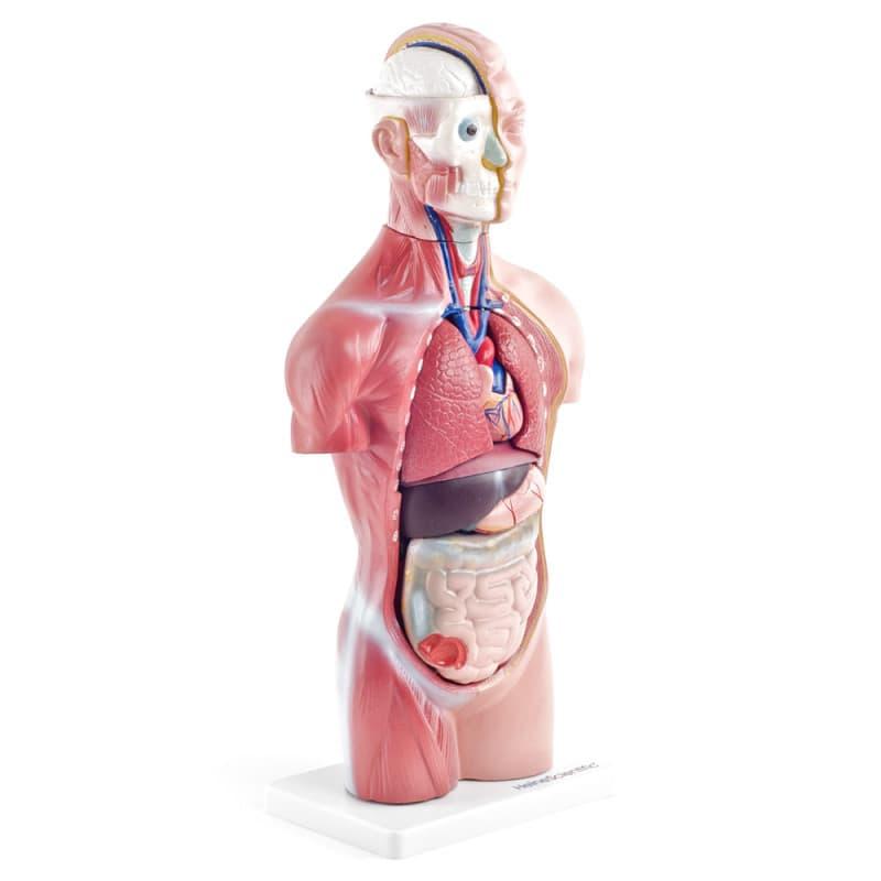 Model 18-częściowy: po lewej stronie skóra, po prawej mięśnie i ścięgna