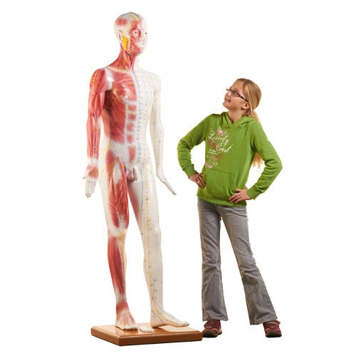 Life-size Acupuncture Model