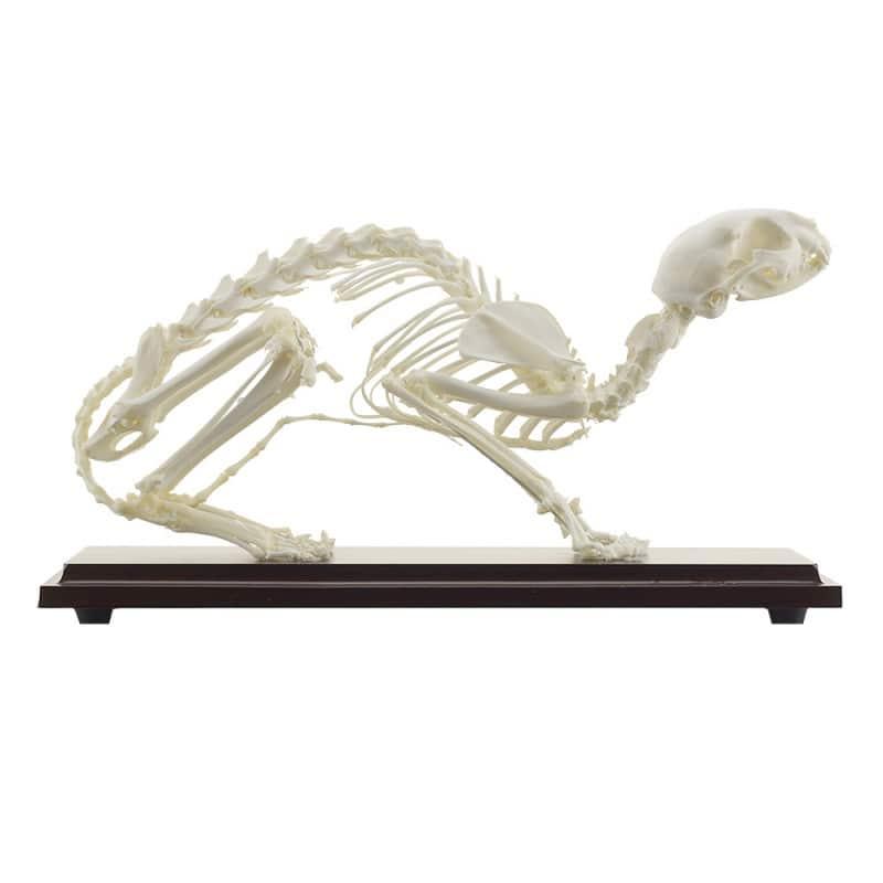 Das Skelett der Katze ist stabil auf einem Holzsockel befestigt