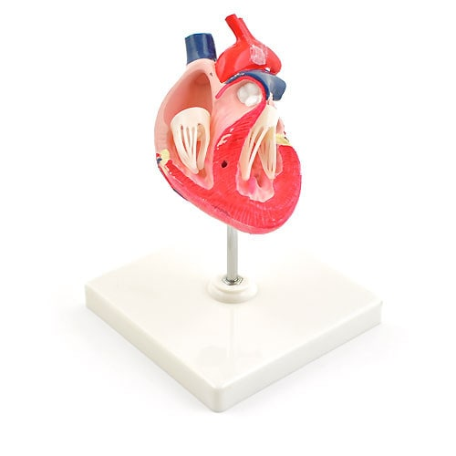 Canine Heart Model
