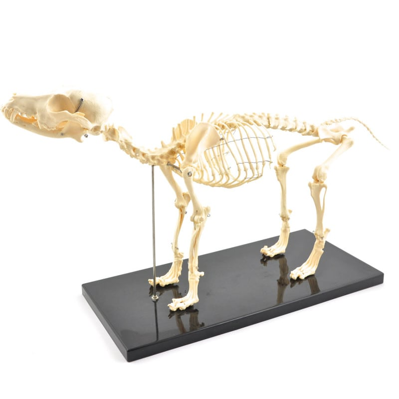 Disassemblable Canine Skeleton, medium