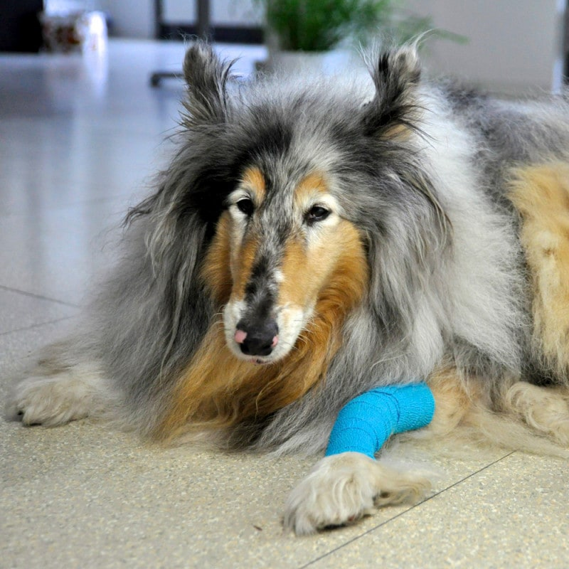 Cohesive bandages do not stick to fur or skin
