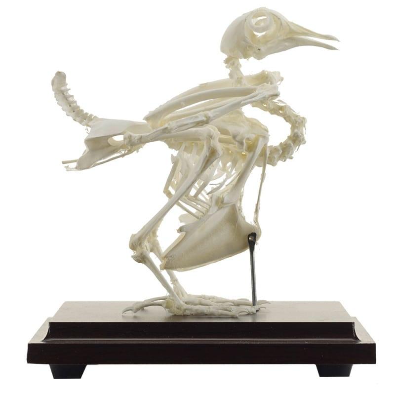 Esqueleto real de una paloma