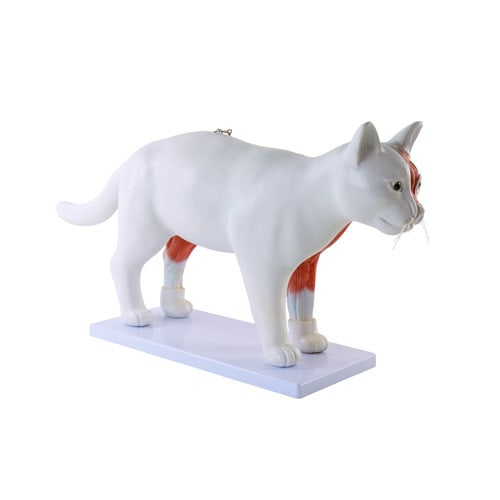 Disassemblable Feline Model