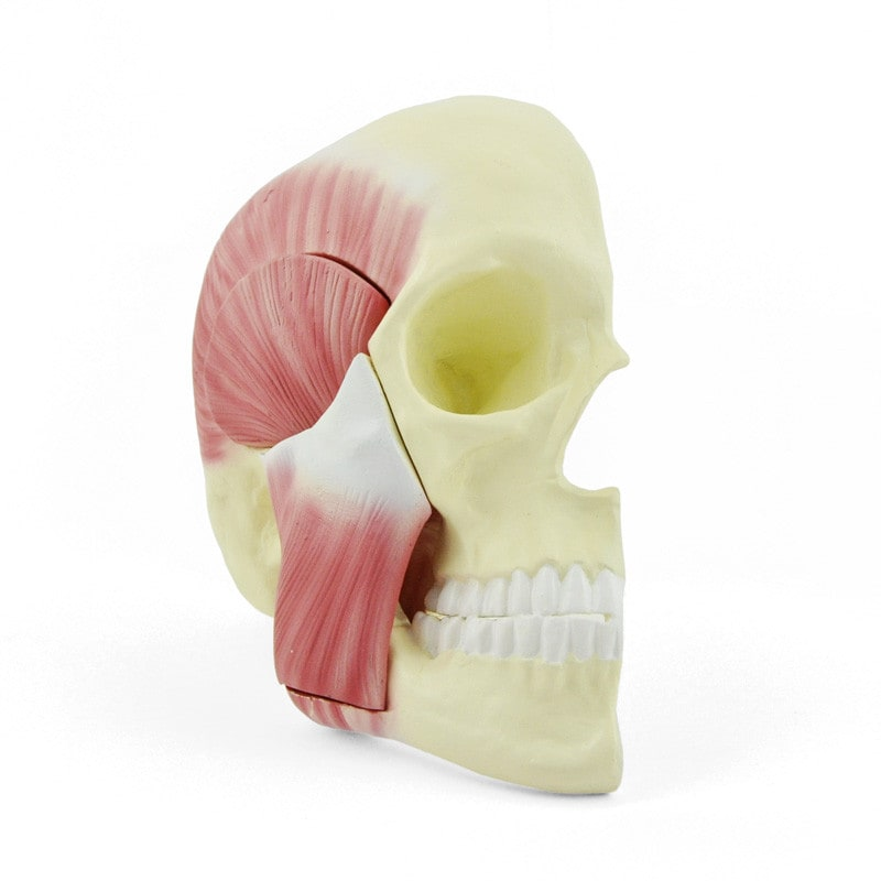 Skull Model with Masticatory Muscles