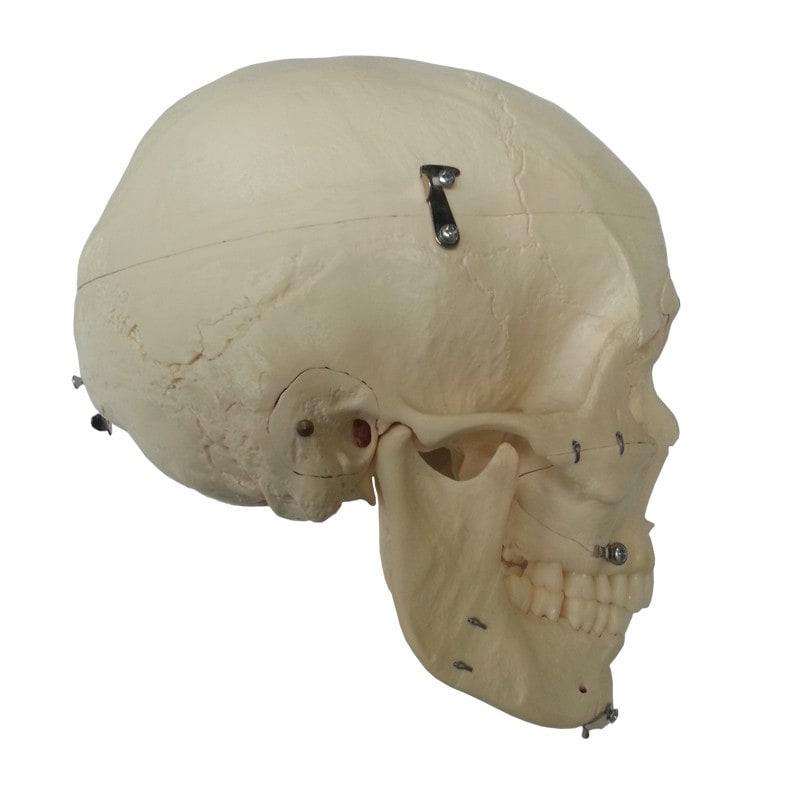 Demonstration skull, 14 pieces