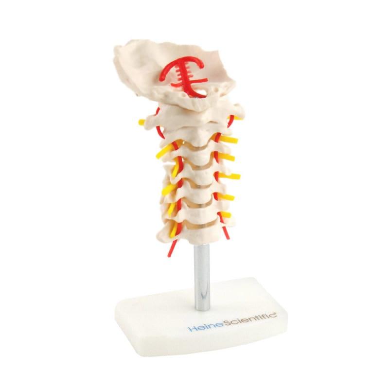 Modelo de columna cervical