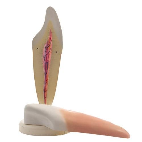 Zerlegbare Zahnmodelle im 2er-Set