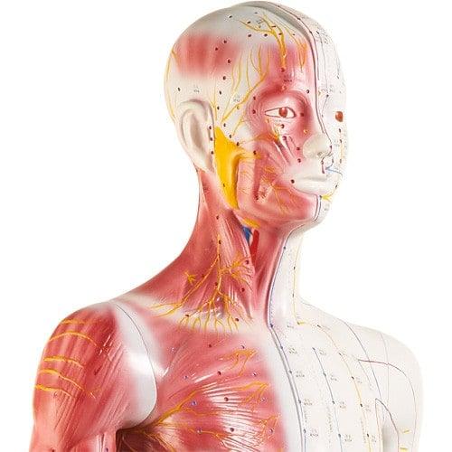Zweigeteiltes Akupunkturmodell zeigt Meridiane & Akupunkturpunkte, Muskeln & Sehnen