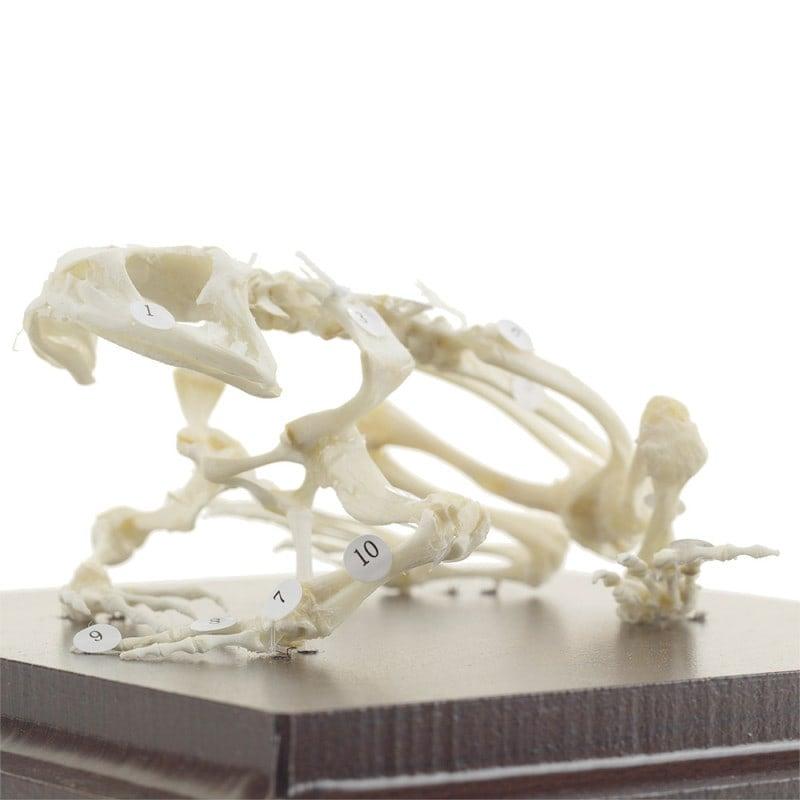 Szkielet żaby
