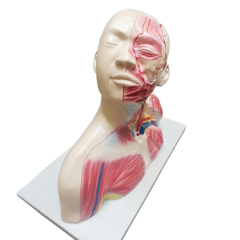 Hals- & Kopfmodell | Anatomie von Hals & Kopf | Praxisdienst
