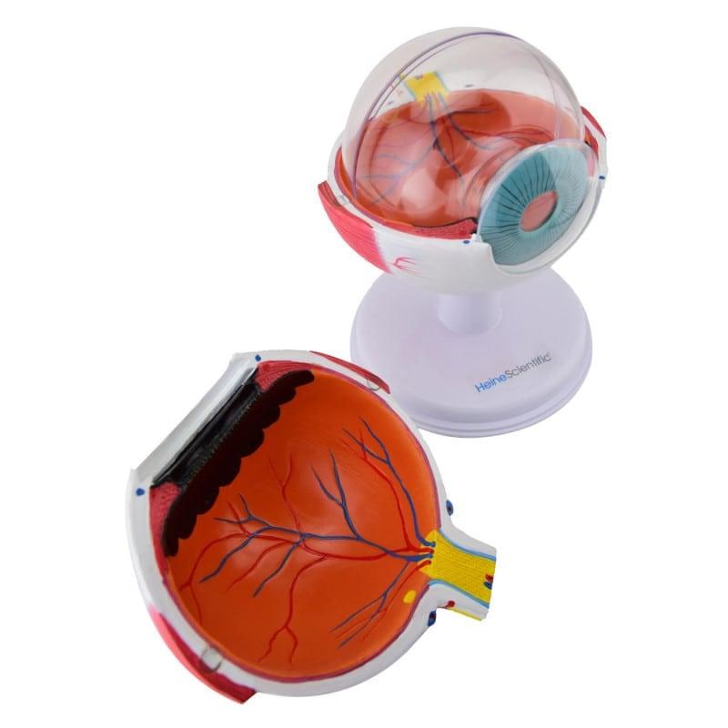 Das Augenmodell kann in 6 Teile zerlegt werden