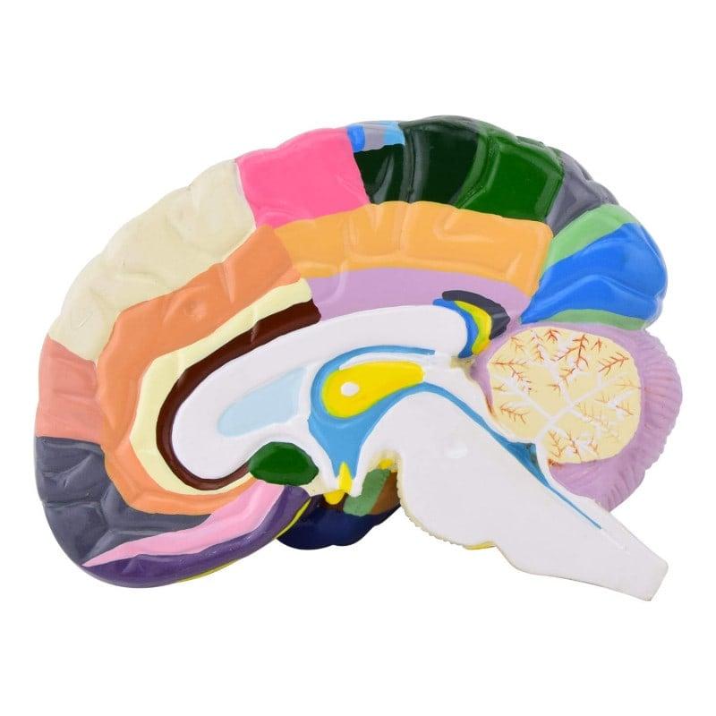 Ideal para neurología y estudios de medicina