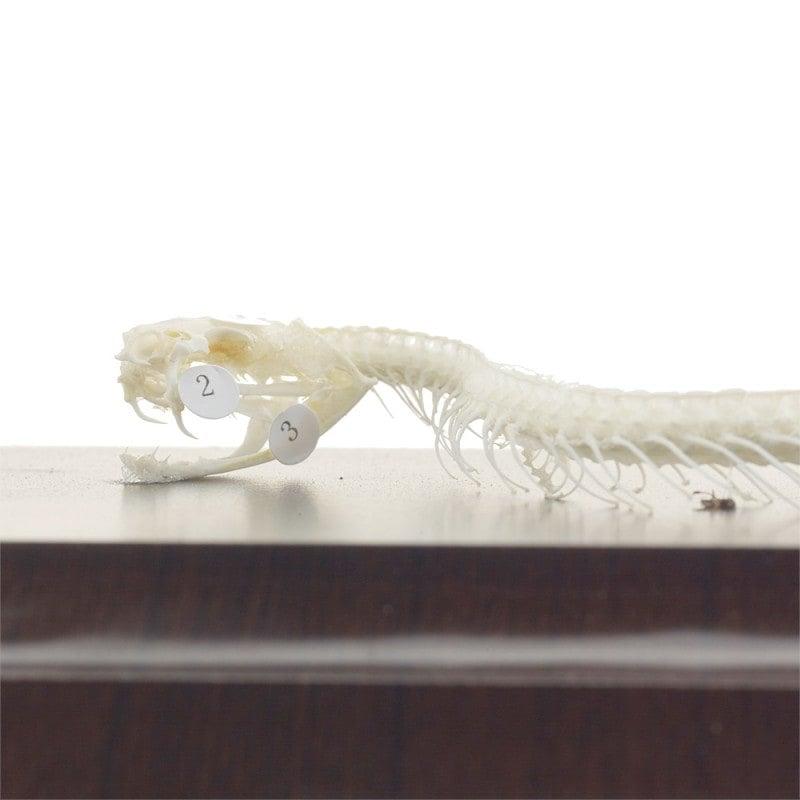 Auténtico esqueleto de una serpiente