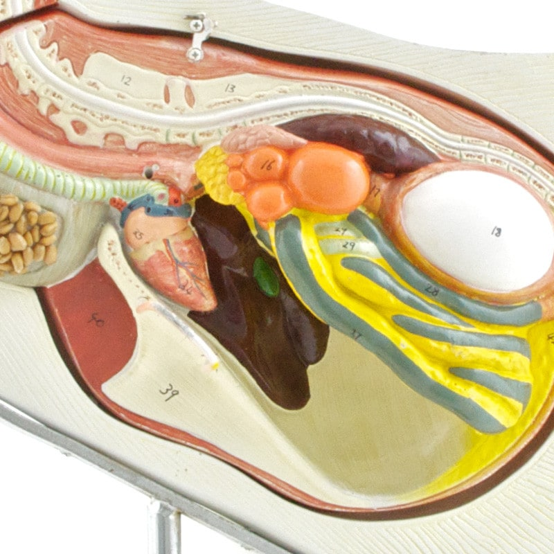 Detailed view of individual organs