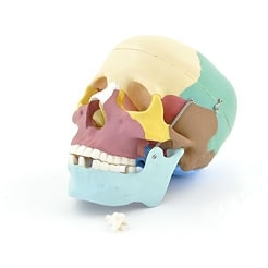 Coloured Skull Model