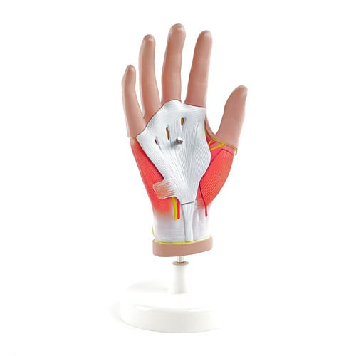 Life Size Hand Model