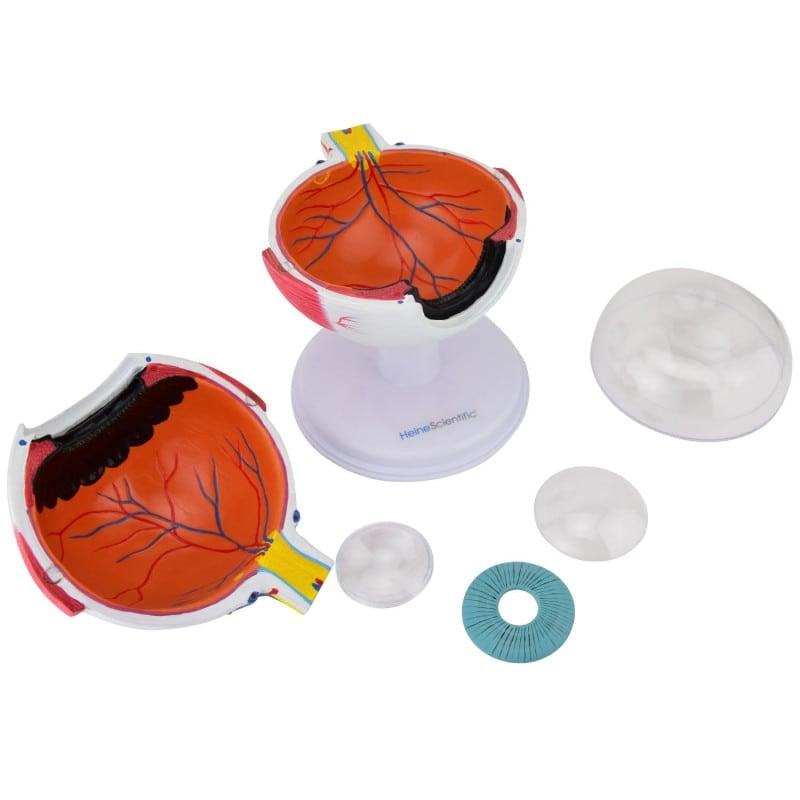 Linse, Hornhaut, Iris und Glaskörper können aus dem Modell entnommen werden